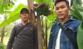 Unik, Pemilik Pohon Pisang Bertandan dan Berjantung 6 Ini Mimpi Ketemu Presiden Jokowi
