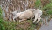 Hujan Deras Seekor Sapi Tewas Disambar Petir Ditengah Sawah